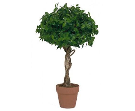 Fiscus Topiary