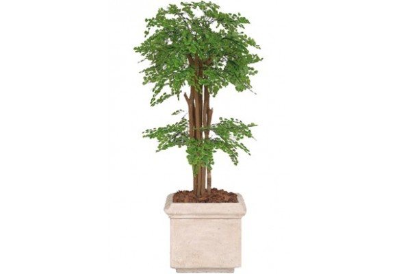 Maidenhair Fern Tree